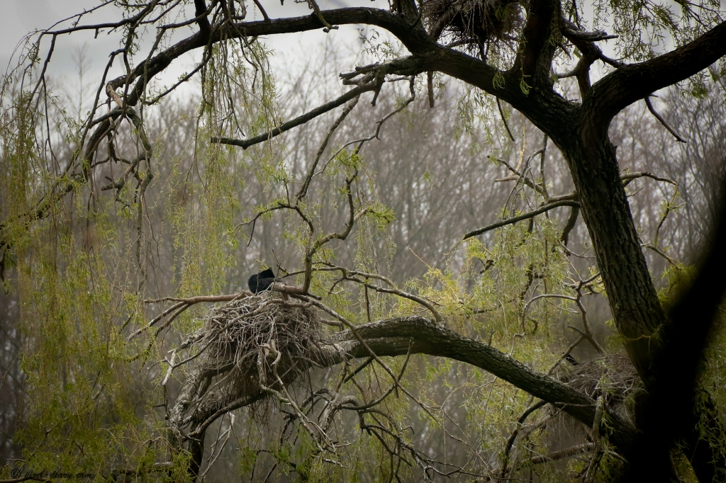 Cormoran sur son nid